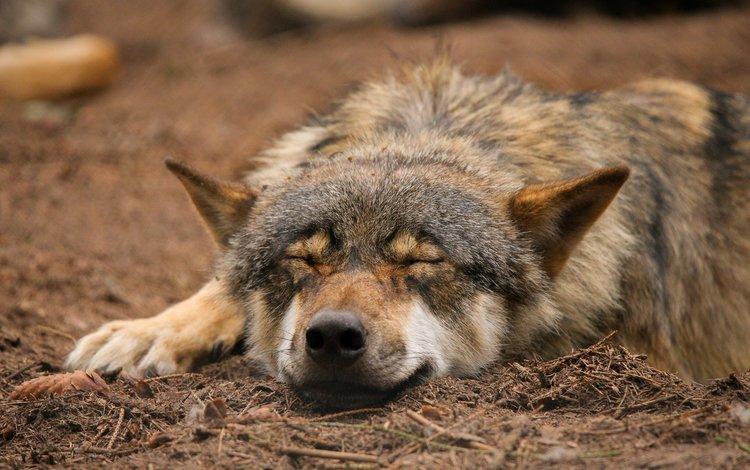 природа, спит, волк, quiet-bliss, nature, sleeping, wolf
