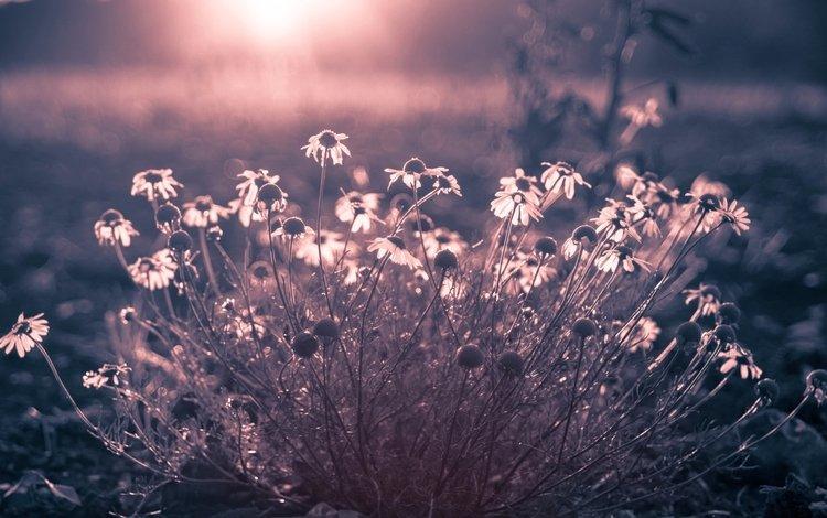 цветы, природа, фон, поле, ромашки, flowers, nature, background, field, chamomile