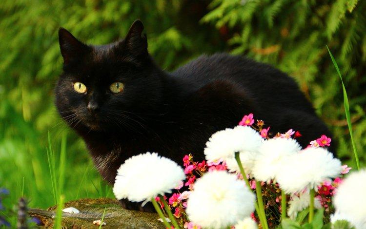 цветы, кот, взгляд, черный кот, flowers, cat, look, black cat