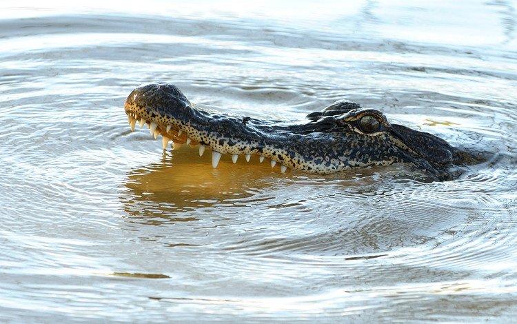 вода, зубы, крокодил, пасть, рептилия, аллигатор, water, teeth, crocodile, mouth, reptile, alligator
