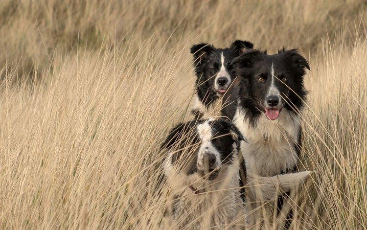 природа, поле, собаки, бордер-колли, nature, field, dogs, the border collie