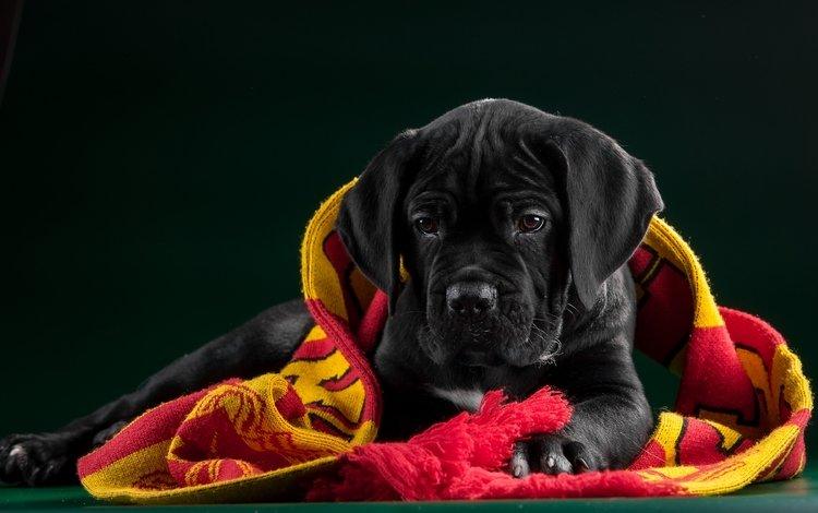 black, puppy, fabric, cane corso
