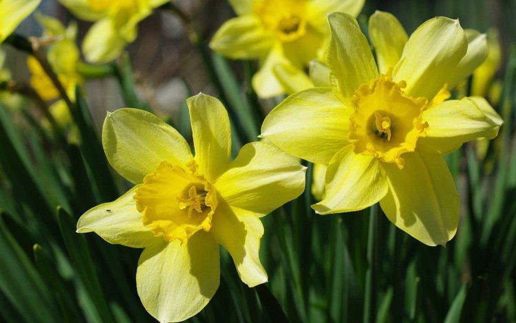 Цветок нарцисс желтый