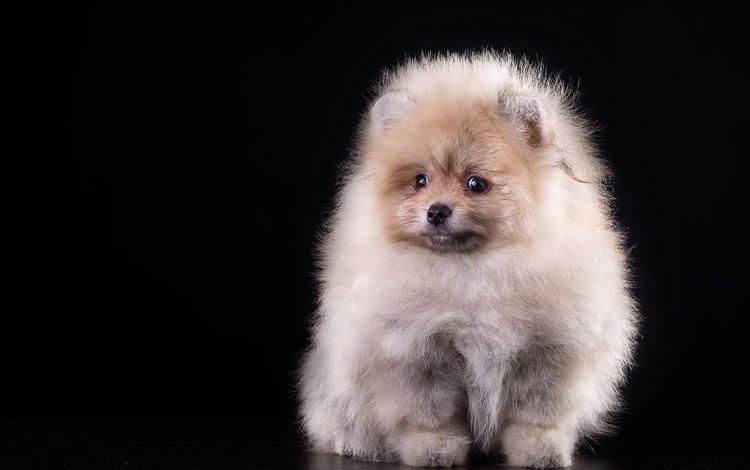 пушистый, щенок, шпиц, fluffy, puppy, spitz