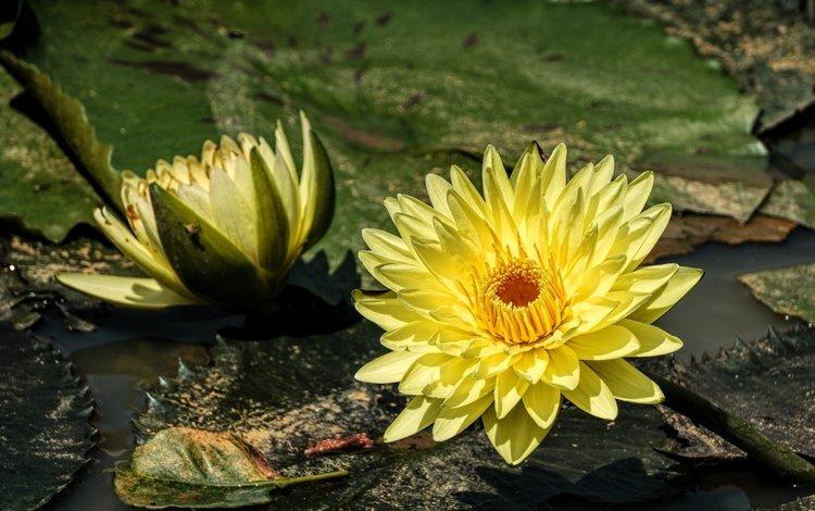 вода, жёлтая, нимфея, водяная лилия, water, yellow, nymphaeum, water lily