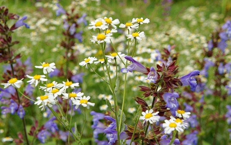 Ромашки и другие полевые цветы