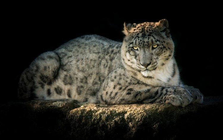 predator, snow leopard, irbis, handsome