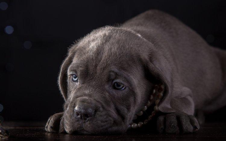 морда, щенок, ожерелье, кане-корсо, face, puppy, necklace, cane corso