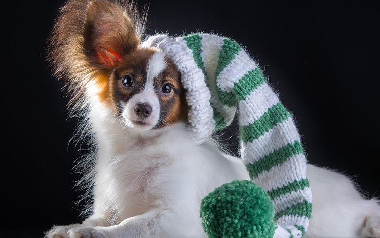 шапка, порода, папильон, hat, breed, papillon