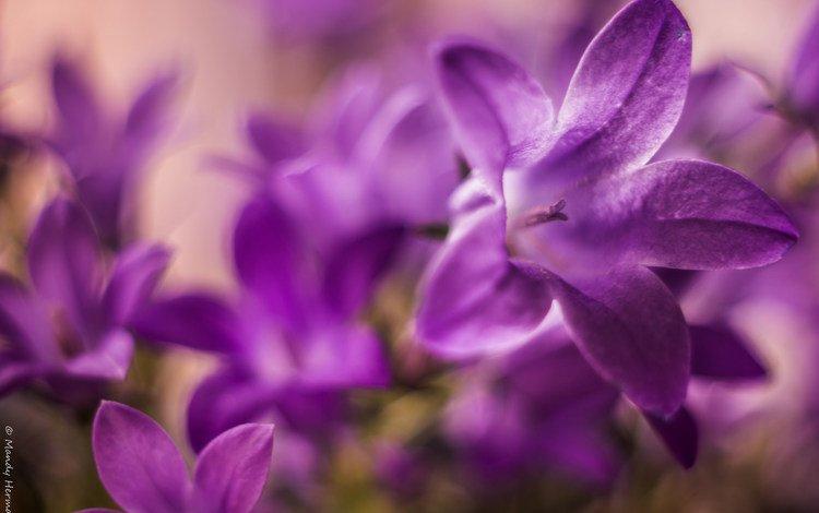 макро, лепестки, колокольчики, macro, petals, bells