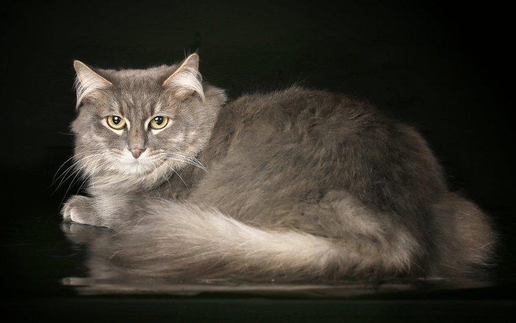 кот, мордочка, кошка, взгляд, серый, красивый, cat, muzzle, look, grey, beautiful