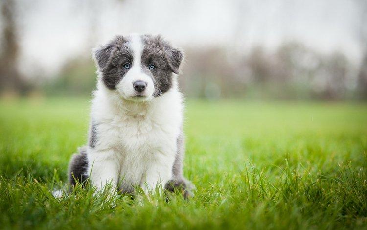 трава, поле, собака, луг, щенок, аусси, серый с белым, grass, field, dog, meadow, puppy, aussie, grey with white