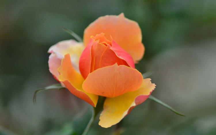 роза, размытость, бутон, оранжевая, rose, blur, bud, orange