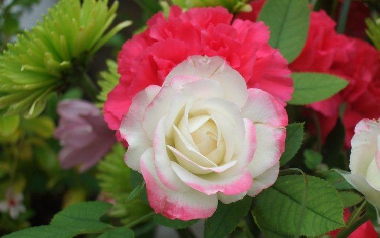 роза, белая, rose, white