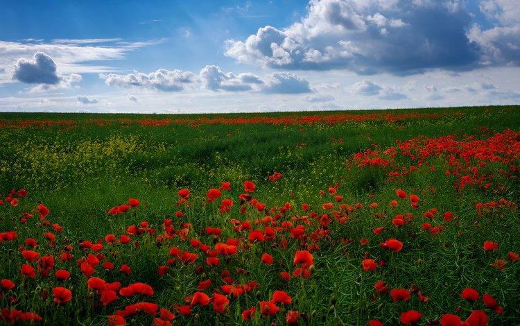 небо, поле, маки, the sky, field, maki