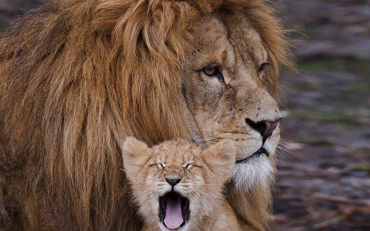 животные, лев, хищники, animals, leo, predators