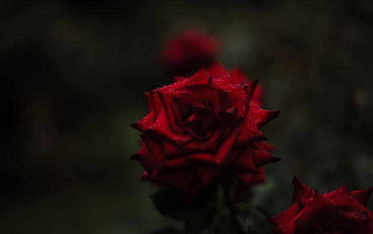 цветы, фон, розы, красные, flowers, background, roses, red