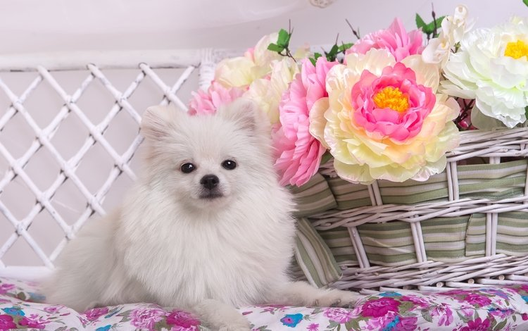 цветы, белый, корзина, шпиц, flowers, white, basket, spitz