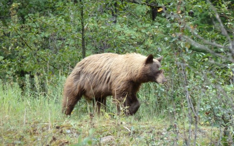 канада, альберта, гризли, провинция альберта, grizzly bear, waterton national park, медведь., уотертон, национальный парк уотертон, canada, albert, grizzly, alberta, bear., waterton, national park waterton