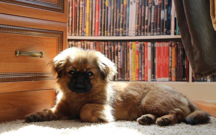 собака, щенок, щенка, cобака, пекинес, dog, puppy, pekingese