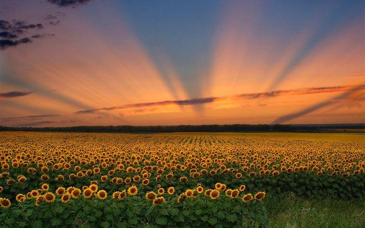 Красивый закат в поле подсолнухов