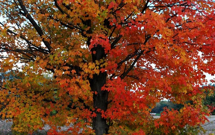 дерево, листья, осень, расцветка, опадают, осен, листья, дерево, tree, leaves, autumn, colors, fall