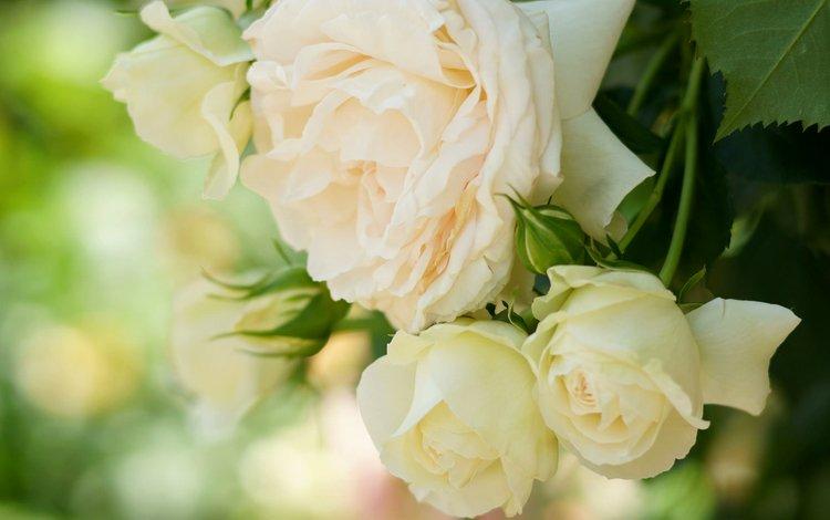 розы, лепестки, нежность, кремовые, roses, petals, tenderness, cream