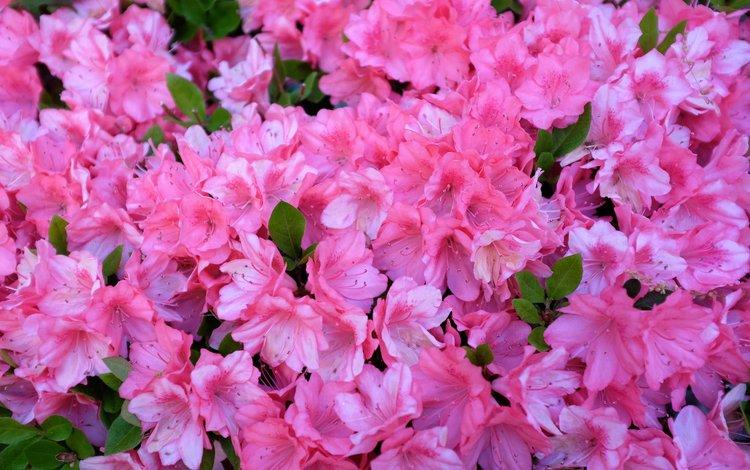 цветы, розовые, азалия, рододендрон, flowers, pink, azalea, rhododendron