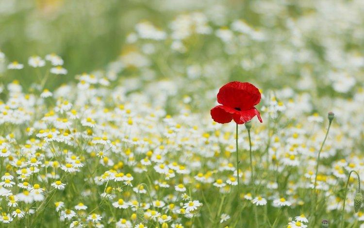 цветы, луг, мак, ромашки, flowers, meadow, mac, chamomile