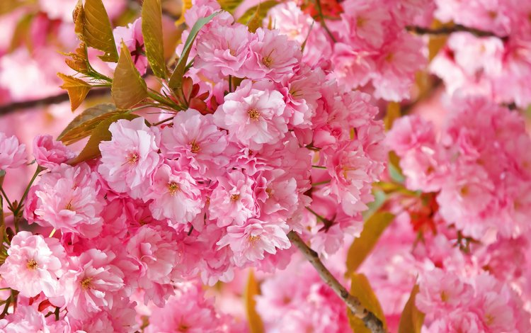 весна, сакура, нежность, розовая, spring, sakura, tenderness, pink