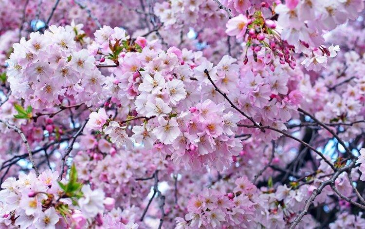 дерево, весна, розовый, вишня, сакура, tree, spring, pink, cherry, sakura