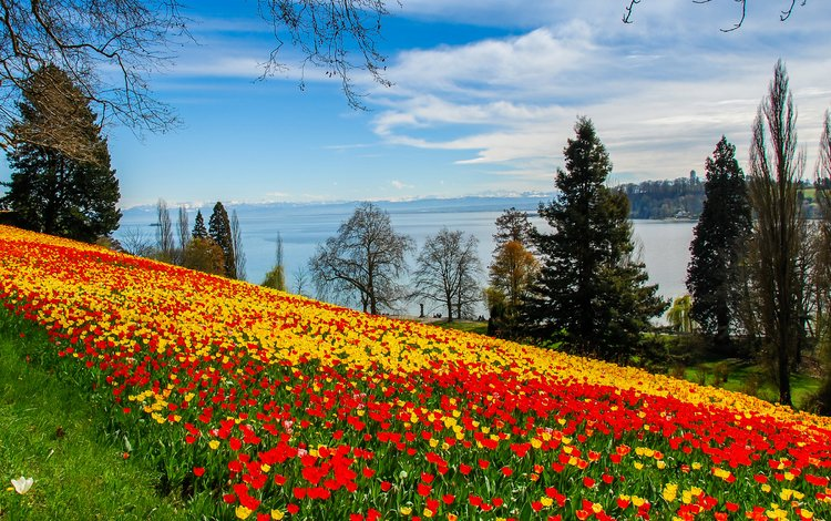 небо, тюльпаны, цветы, желтые, облака, деревья, река, берег, склон, красные, the sky, tulips, flowers, yellow, clouds, trees, river, shore, slope, red