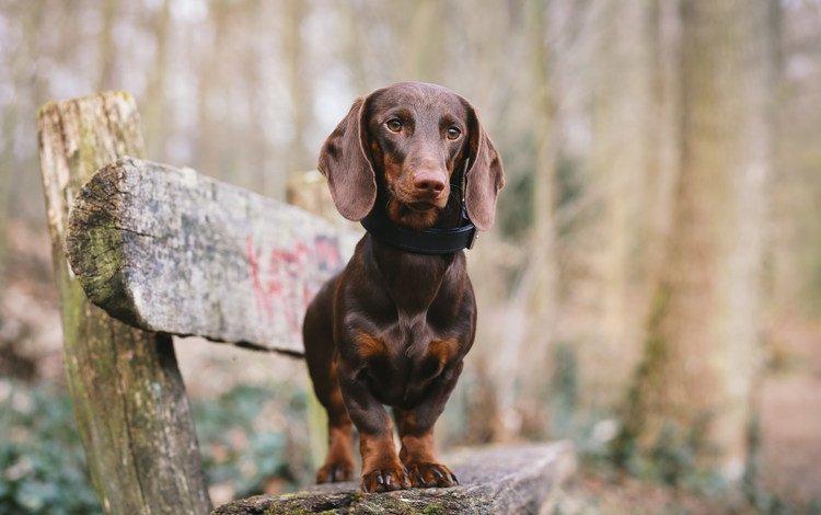 собака, скамейка, такса, dog, bench, dachshund