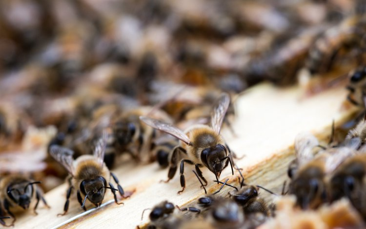 природа, насекомые, пчелы, улей, nature, insects, bees, beehive