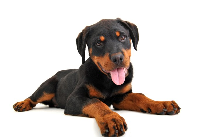 собака, щенок, ротвейлер, dog, puppy, rottweiler