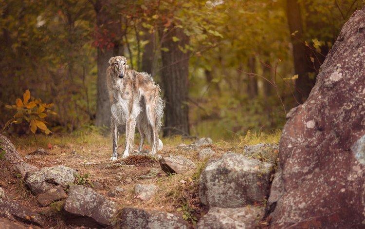 взгляд, собака, друг, борзая, look, dog, each, greyhound