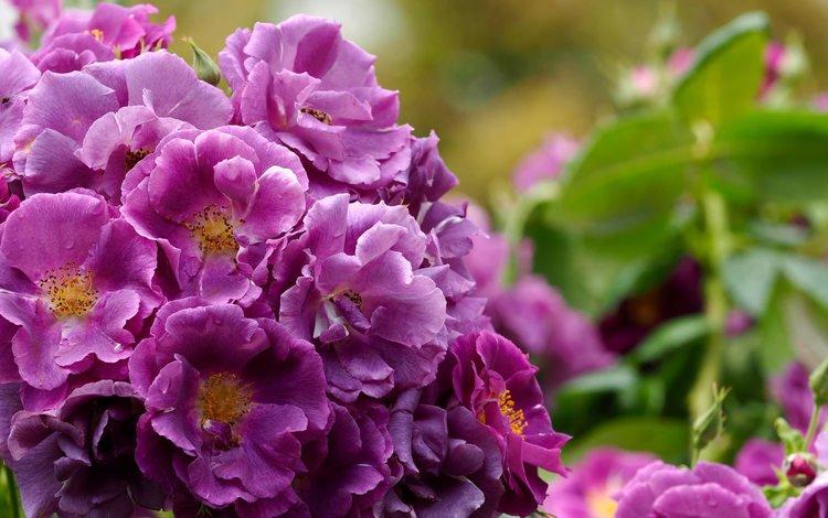 бутоны, розы, куст, buds, roses, bush