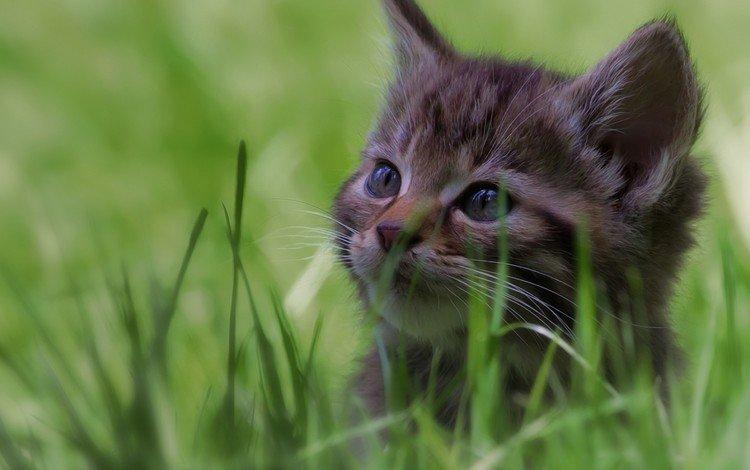 глаза, трава, кот, кошка, взгляд, котенок, eyes, grass, cat, look, kitty