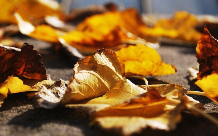 листья, макро, осень, leaves, macro, autumn
