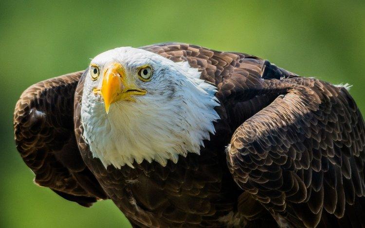 взгляд, хищник, птица, клюв, белоголовый орлан, look, predator, bird, beak, bald eagle