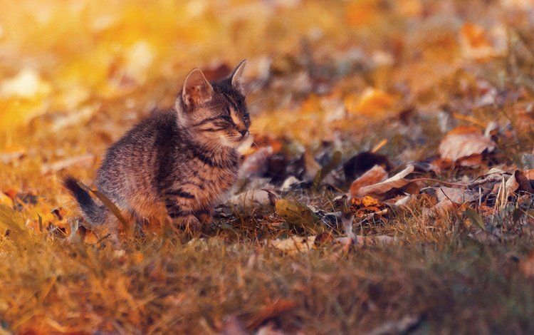 листья, закат, кот, кошка, осень, котенок, осен, ленивый, leaves, sunset, cat, autumn, kitty, lazy