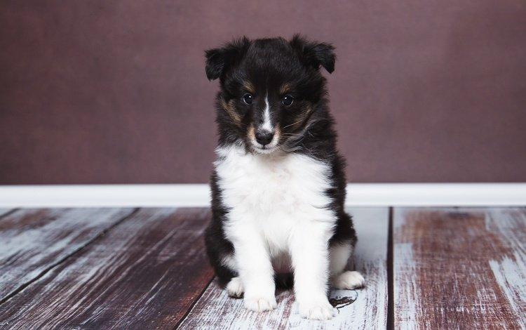 взгляд, собака, дом, щенок, уют, look, dog, house, puppy, comfort