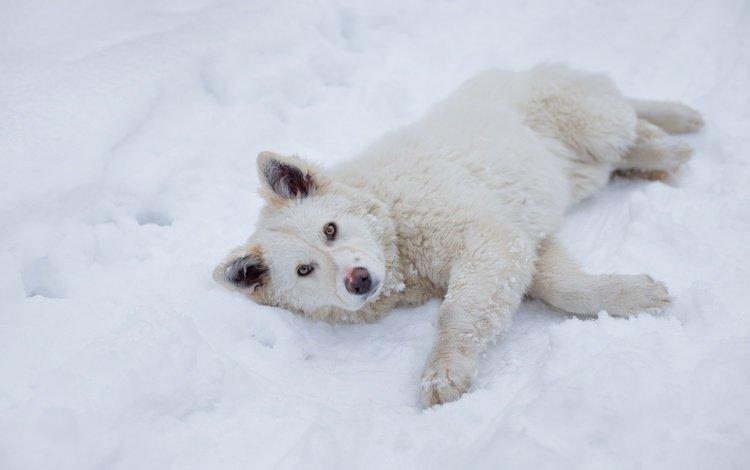 снег, зима, взгляд, пушистый, собака, лежит, песик, snow, winter, look, fluffy, dog, lies, doggie