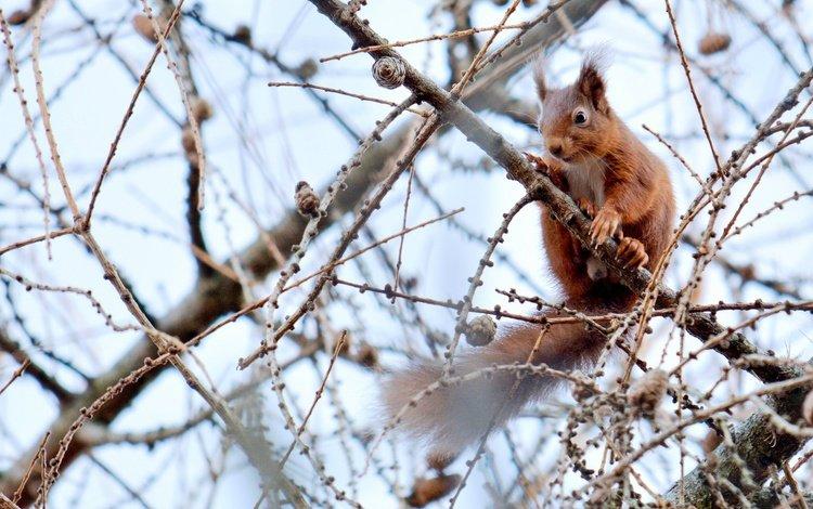 ветки, рыжая, белка, шишки, на дереве, branches, red, protein, bumps, on the tree