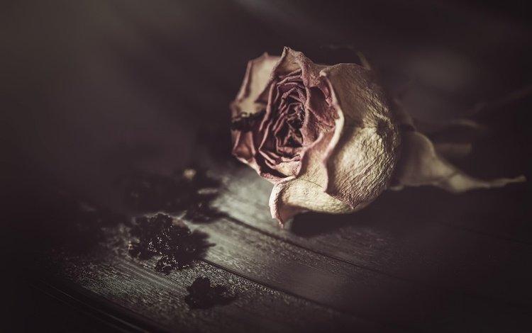 фон, цветок, роза, background, flower, rose