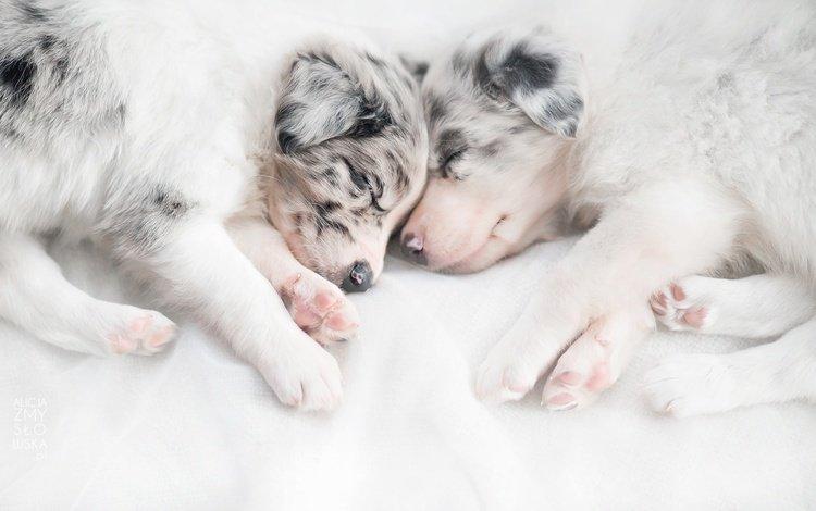 сон, дом, щенки, уют, собаки, австралийская овчарка, sleep, house, puppies, comfort, dogs, australian shepherd