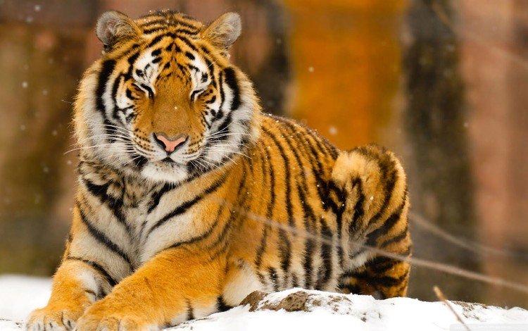 тигр, снег, природа, животные, tiger, snow, nature, animals