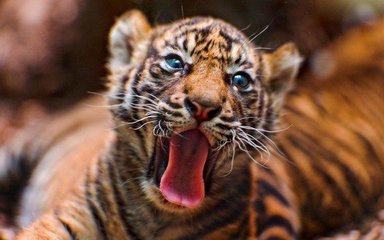тигр, животные, тигренок, дикие кошки, язык, tiger, animals, wild cats, language