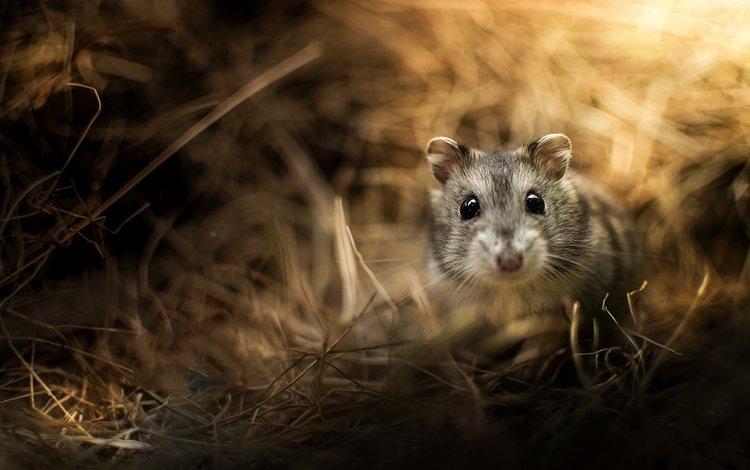 трава, животные, хомяк, грызун, grass, animals, hamster, rodent