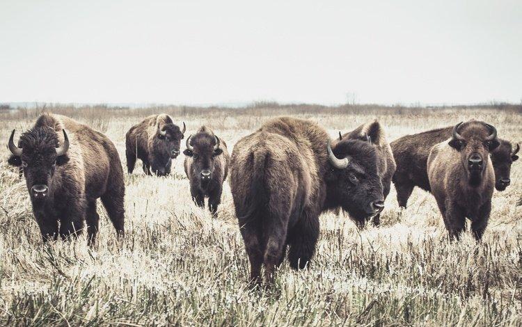 природа, фон, бизоны, nature, background, buffalo